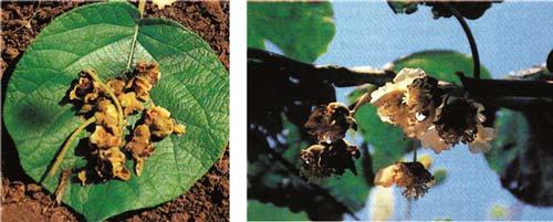 batteriosi-Pseudomonas-viridiflava