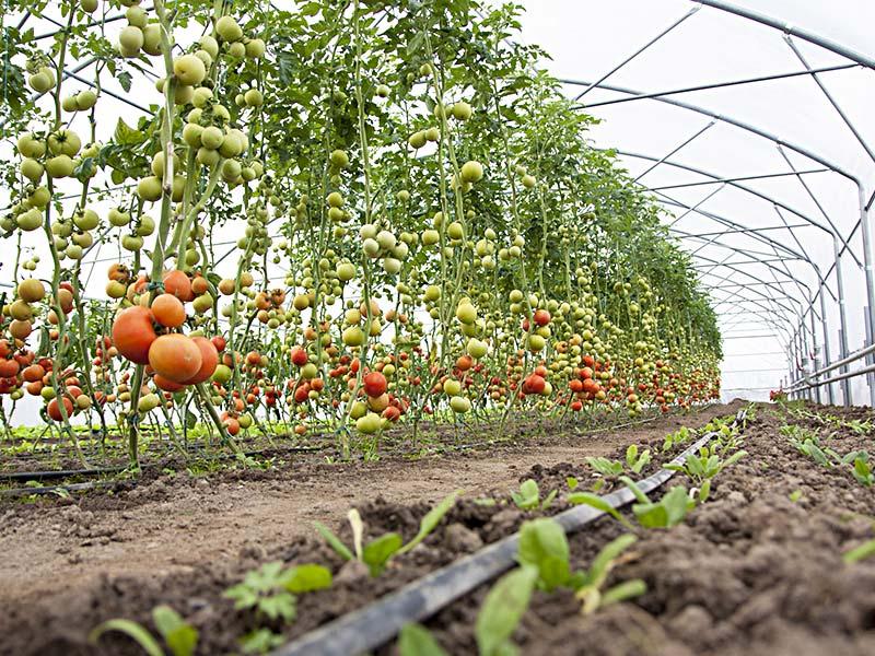 Arte orto for Irrigazione a goccia per pomodori