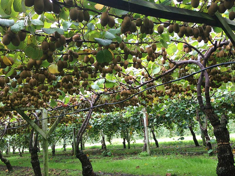 Azienda martella for Kiwi pianta